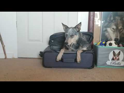 Australian Cattle Dog Lies Down In Suitcase - 1015283