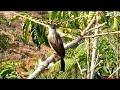 Suara keras burung kutilang pikat gacor