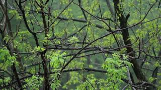 🎧 Rain On Trees Sound ( Raindrops On Leaves NO Thunder Sounds ), Relaxing Ambiance For Sleeping