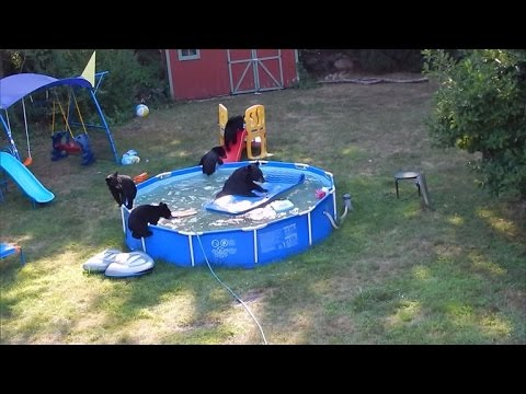 Ma'am, You Have Bears in the Pool - Funny Animal Video