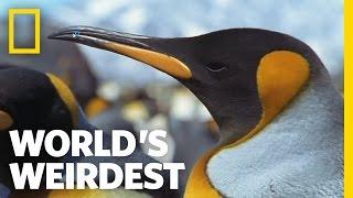 World's Weirdest - Penguin Parent Powers