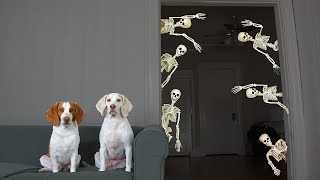 Dog vs Mini Skeletons Halloween Prank: Funny Dogs Maymo & Potpie's Skeleton Invasion by Maymo