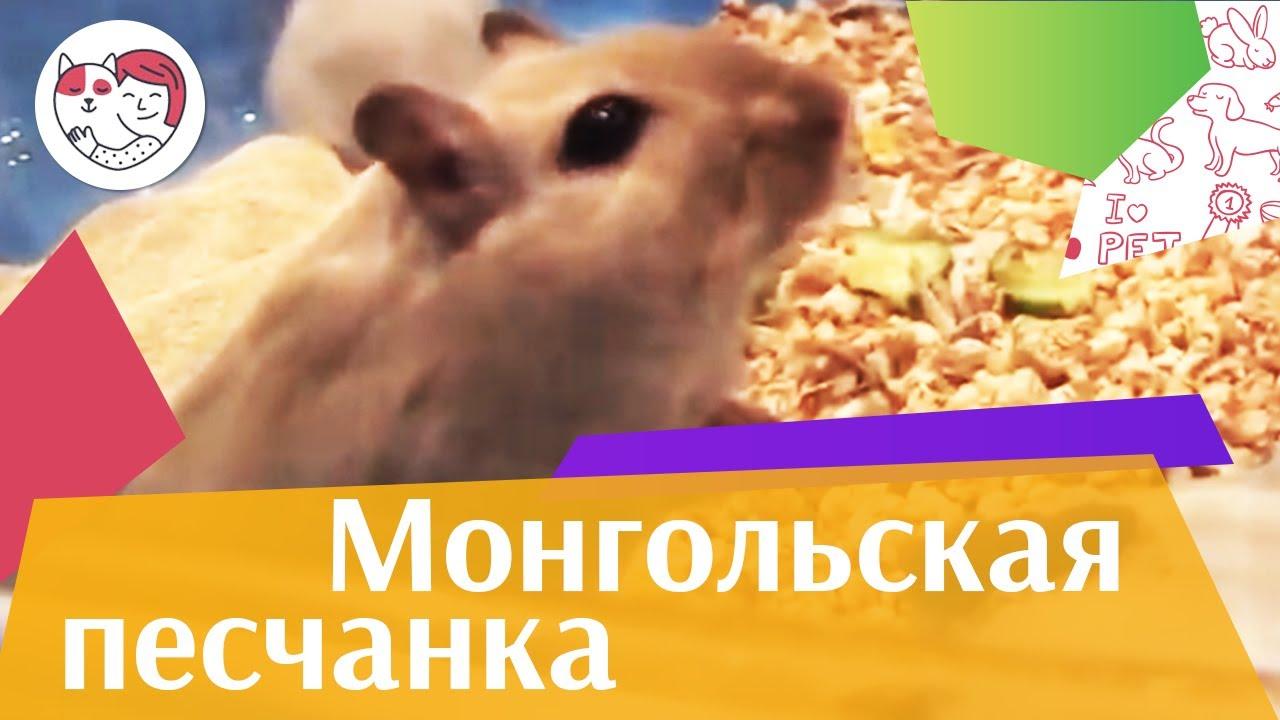 Монгольская  песчанка Здоровье на ilikepet