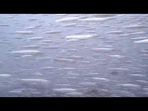水中映像:カタクチイワシ