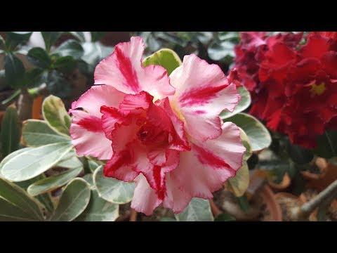 Прививки и родные ветки Адениума. Грунт. Вариегатка цветет!