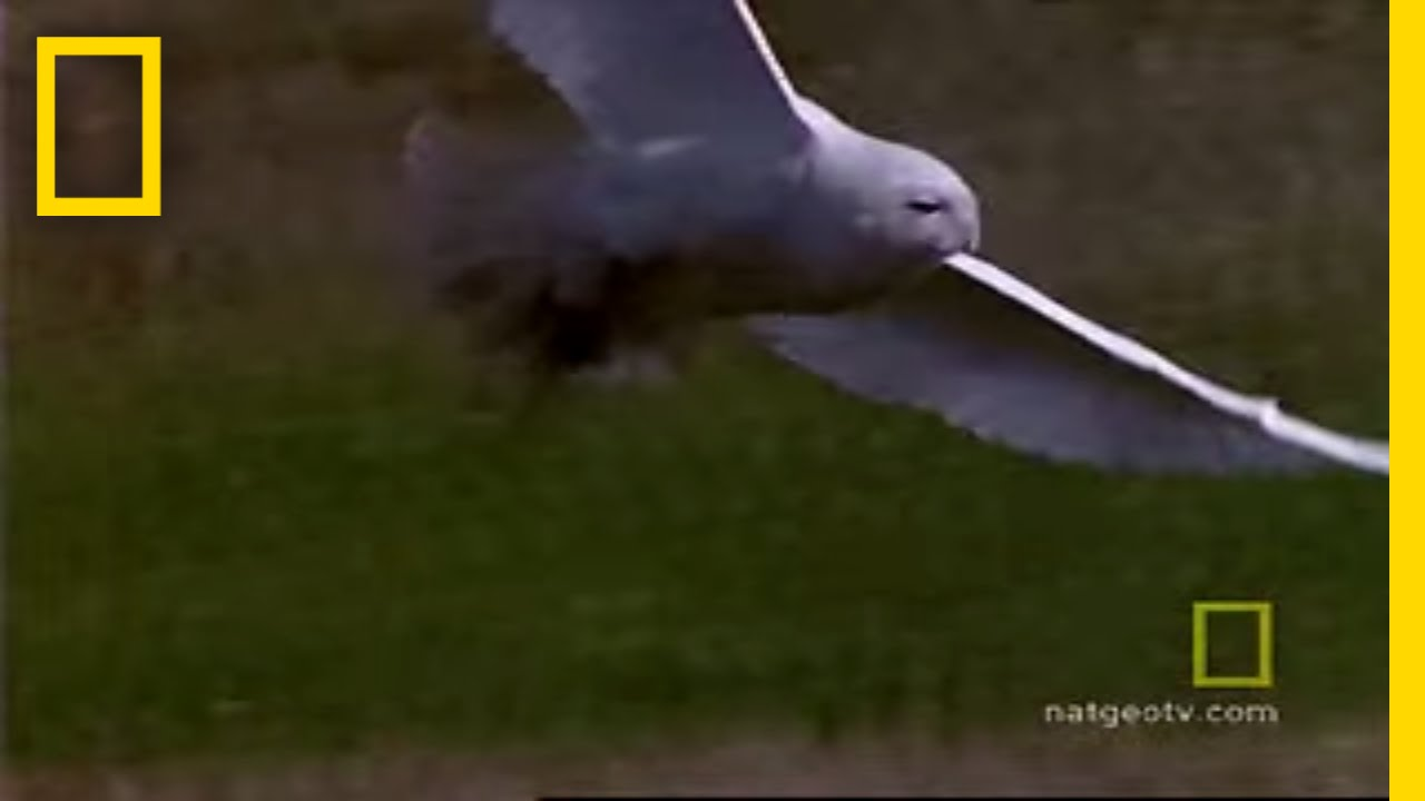 Snowy Owl | National Geographic thumbnail