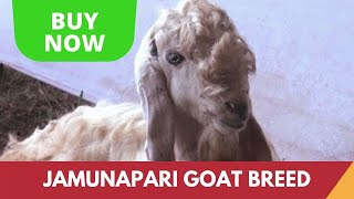 Jamunapari Goat - a goat breed from Uttar Pradesh