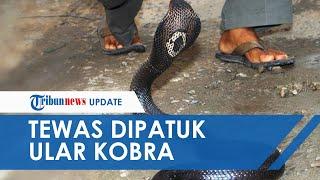 Dipatuk Kobra saat Cari Singkong, Yayan Tewas setelah 4 Jam Bertahan, Warga Kini Ketakutan