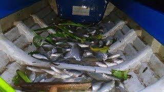 Bão cá P2: Cá khẫm xuồng chỉ trong 1 dạo vớt. Dạo vớt cá kỷ lục | Săn bắt SÓC TRĂNG |