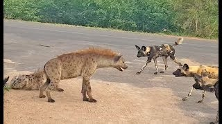 Hyena Protects Den From Intruding Wild Dogs