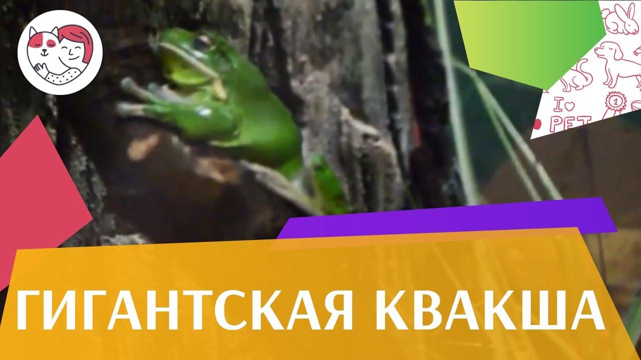 Гигантская квакша   Разведение на ilikepet