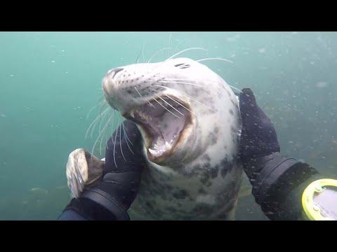 Дайвер и дружелюбный тюлень
