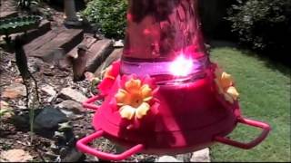 Amazing Hummingbird Attack!! (Just for changing the feeder!)