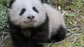 Рожденная в США панда Бао Бао вернулась в Китай
