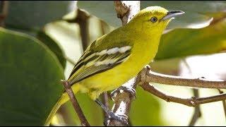 Pancingan Suara Burung Cipoh Cipow Sirtu Betina Agar Jantan Jadi Gacor