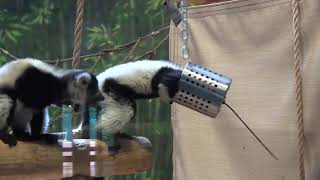 Inside Look - Black-and-White Ruffed Lemurs