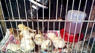 Pollos Españoles media sangre Criadora de pollos Casera