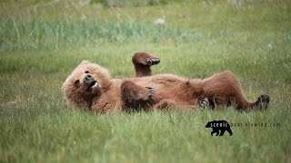 Brown Bear Cub relaxing after a long day! Haha!