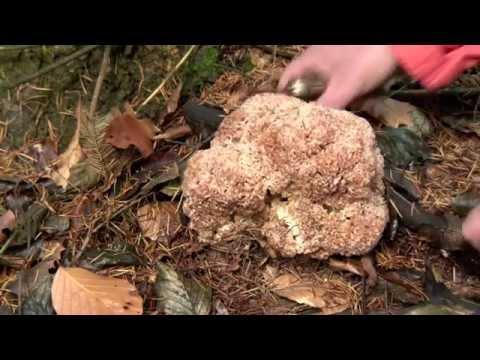 Pilze-Pilze sammeln-Pilze finden-Krause Glucke-Fette Henne