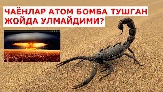 ЧАЁНЛАР ХАКИДА СИЗ БИЛМАГАН ФАКТЛАР (атом бомба тушган жойда чаёнлар..)