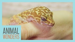 Leopard Gecko Rescue by Animal Wonders