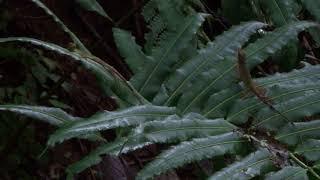 Anolis podocarpus