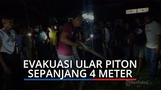 Petugas Damkar Kota Padang Evakuasi Ular Piton 4 Meter, Warga Ramai Abadikan Pakai Kamera HP
