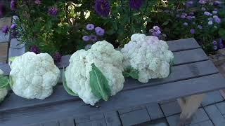 Уборка цветной капусты, самый крупный кочан 5 кг.