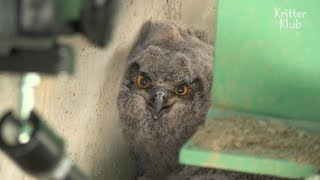 Eagle Owl Raises Babies In A Construction Site | Animal in Crisis EP25