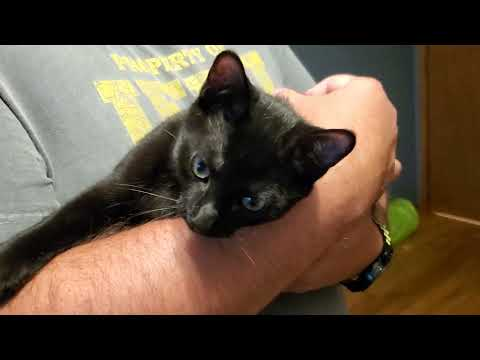 Clifford, an adoptable Domestic Short Hair Mix in Bolingbrook, IL_image-1