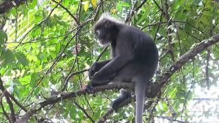 2014-06-23 Dusky Leaf Monkey, Georgetown