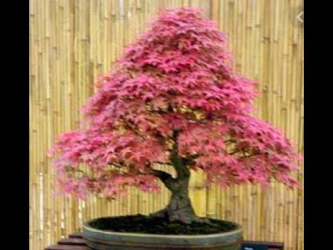 Como plantar semente de Bonsai parte 1