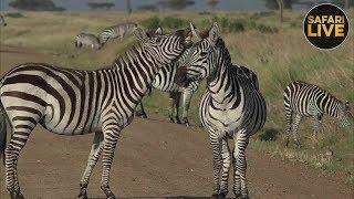 safariLIVE- Sunrise Safari - October 1, 2018