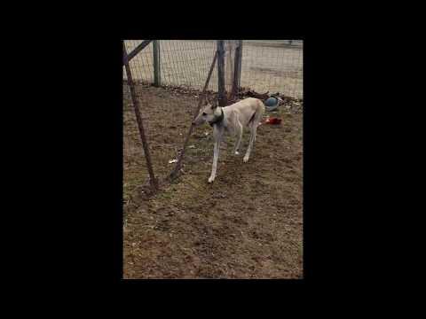 Surgeo, an adopted Greyhound in Burlington, WI