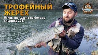Ловля трофейного жереха. Открытие сезона по белому хищнику 2017. Рыбалка в апреле