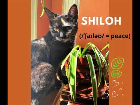 Shiloh, an adoptable Domestic Short Hair & Tortoiseshell Mix in South Ozone Park, NY