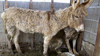 Люди посадили осла в клетку с волком, и то, что случилось, удивило всех!