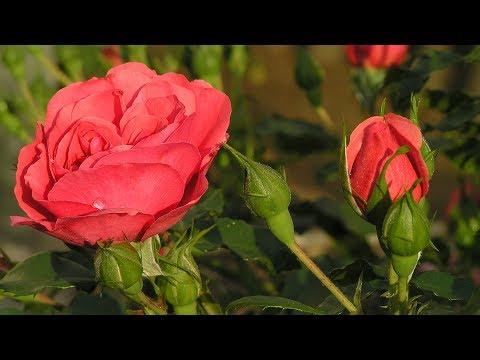 Как сажать розы осенью с открытой корневой системой