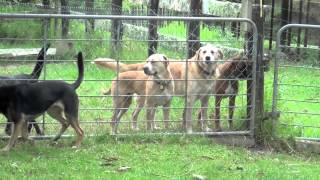 preview picture of video 'Woodcote Farms, Auckland NZ - It's a dogs life ...'