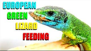 European Green Lizard FEEDING ( Lacerta viridis )