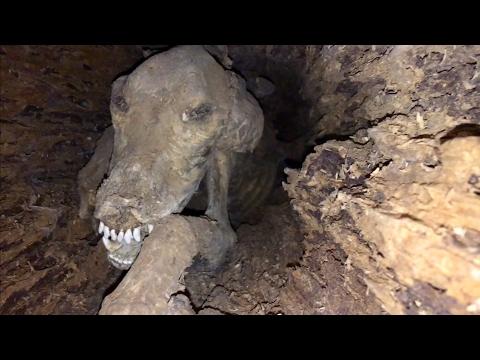 Stuckie: El perro que quedó momificado dentro de un árbol
