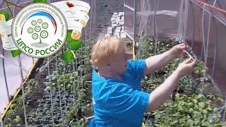 Подвязка томата в теплице видео