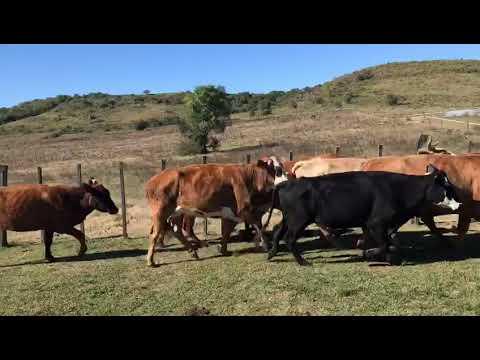 Imagen 30 Vacas preñadas en Tacuarembó