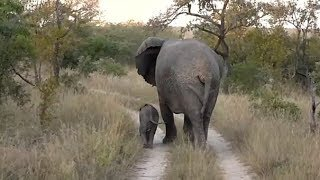 SafariLive May 11 - Very tiny baby Elephant!