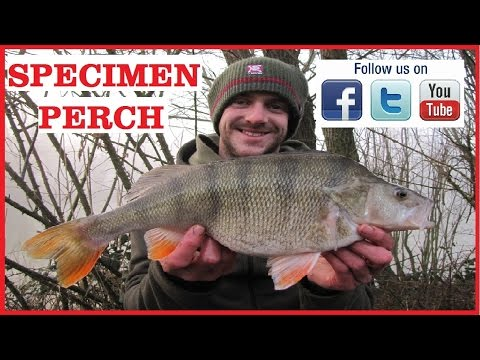 Specimen Perch Fishing On Commercial Fisheries At Alderwood Ponds