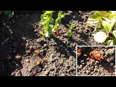 Колорадский жук, массовое вымирание на земле!!!