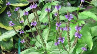 Health benefits of Vervain plant