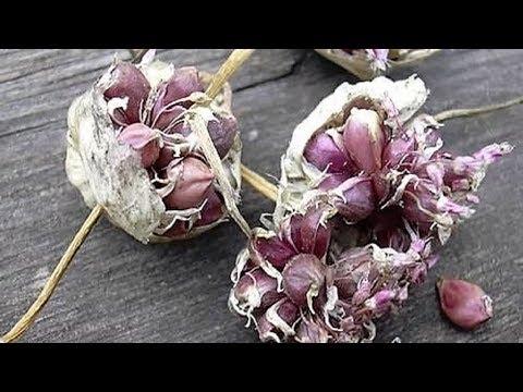 245. Как вырастить чеснок из бульбочек