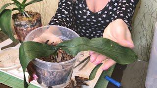 Как реанимировать орхидею?