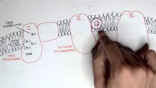 PART I - Oxidative Phosphorylation, Electron Transport Chain